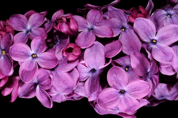 Lingering Lilac
