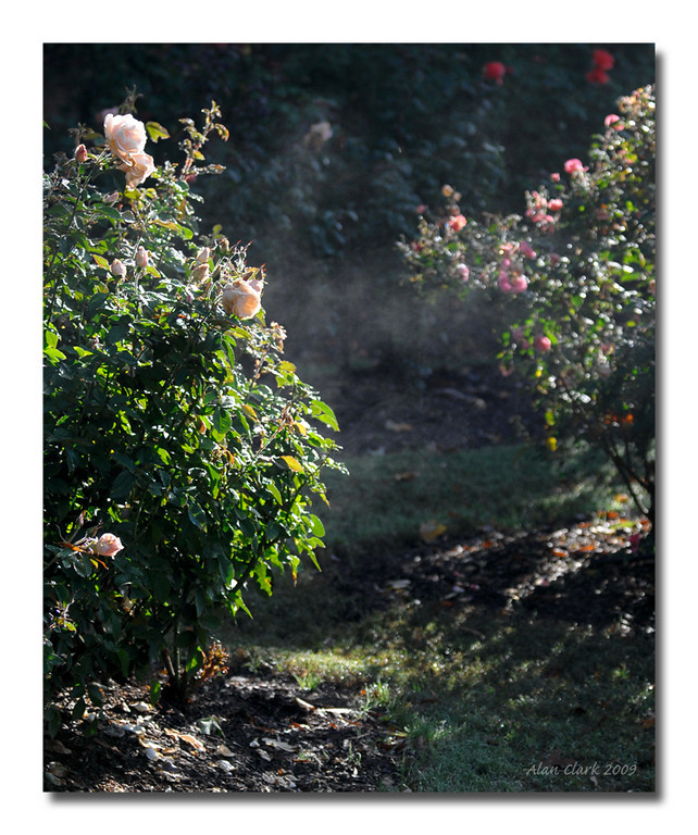 Morning mist.  The Rose Garden, Raleigh, NC.  December, 2009.