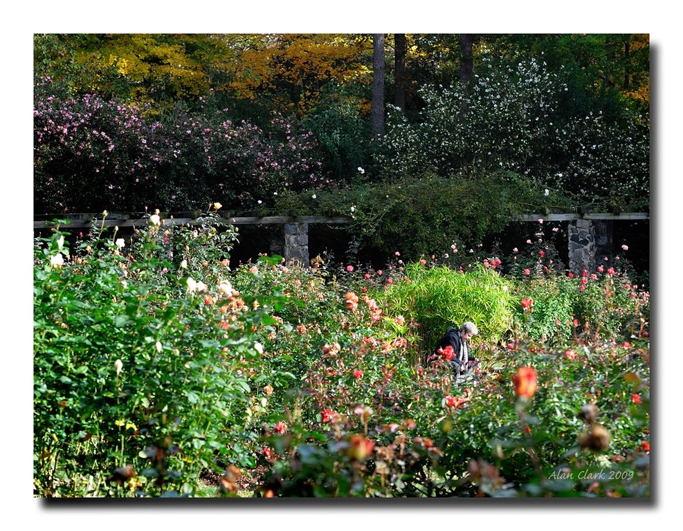The Rose Garden, Raleigh, NC.  December, 2009.