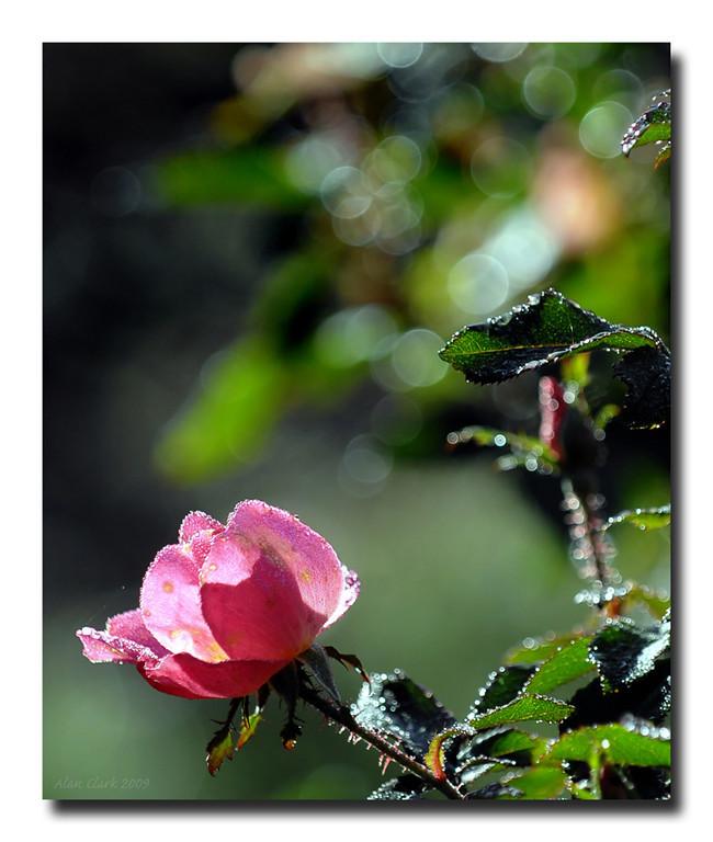 The Rose Garden, Raleigh, NC.  December, 2009.