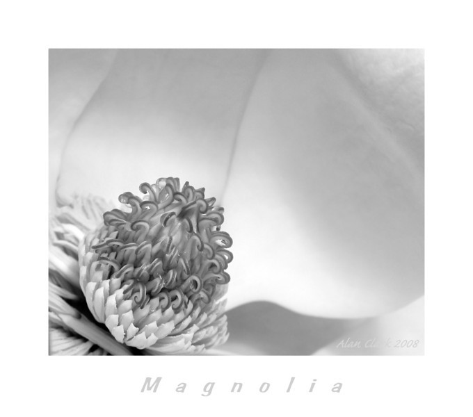 Southern Magnolia.  Raleigh, NC.  May, 2008.