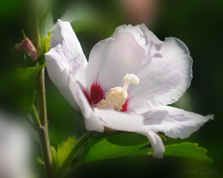 Rose of Sharon, Shippensburg, PA.  July, 2010.