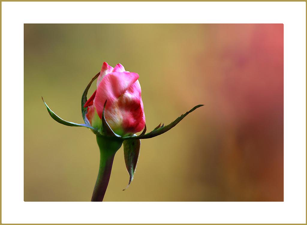 Photo Art Rose, Raleigh Rose Garden, 2011