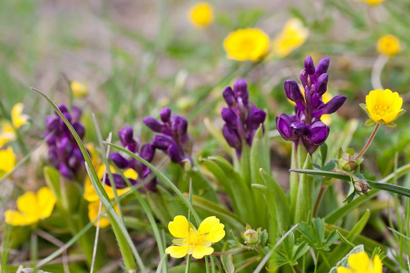 Kleines Knabenkraut und Frühlings-Fingerkraut