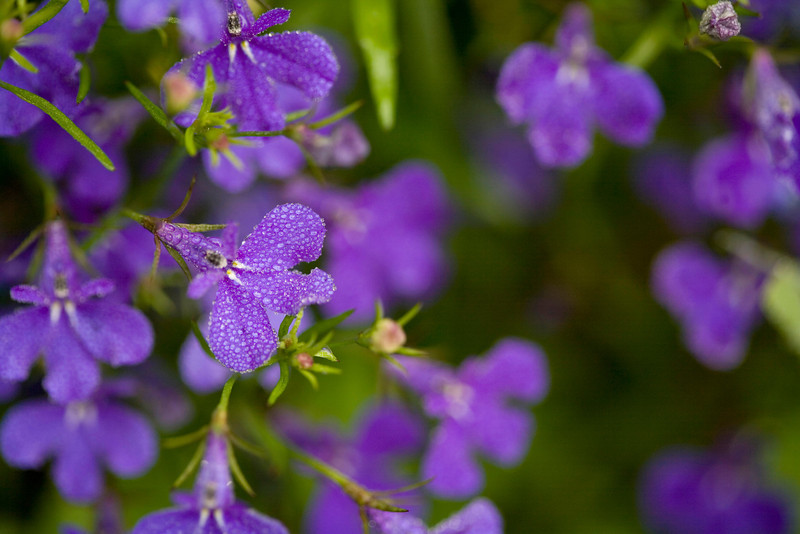 Lobelia erinus, an intensely blue annual, is indigenous to South Africa and a popular garden flower.