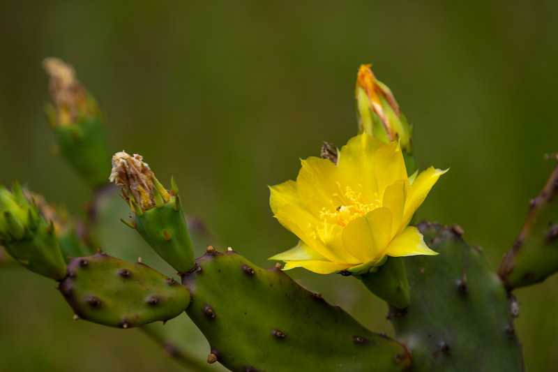 Florida Prickly Pear