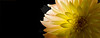 Flower pictured :: Dahlia<br /> <br /> Flower provided by :: Abloom<br /> <br /> 092014_005645 ICC sRGB 9x24 pic