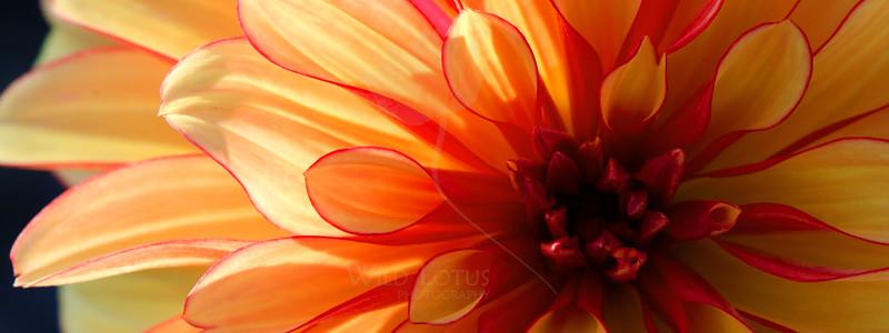 Peach Bellini<br /> <br /> Flower pictured :: Dahlia<br /> <br /> Flower provided by :: Tagawa Gardens<br /> <br /> 042813_010858 ICC sRGB 9x24 pic