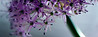 Tides<br /> <br /> Flower pictured :: Allium<br /> <br /> Flower provided by :: Babylon Floral<br /> <br /> 041415_008340 ICC sRGB 15x40 pic