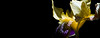 Painted Lady<br /> <br /> Flower pictured :: German Iris<br /> <br /> Flower provided by :: Tagawa Gardens<br /> <br /> 061415_009615 ICC sRGB 15x40 pic