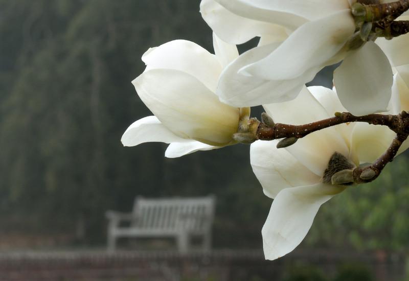 Yulan Magnolia Eying A Place To Sit