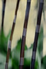 Black Bamboo Blur