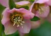 Lenten-Rose Hellebore (2)