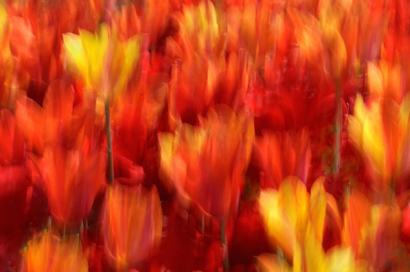 Fiery Tulips