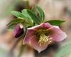 Lenten-Rose Hellebore
