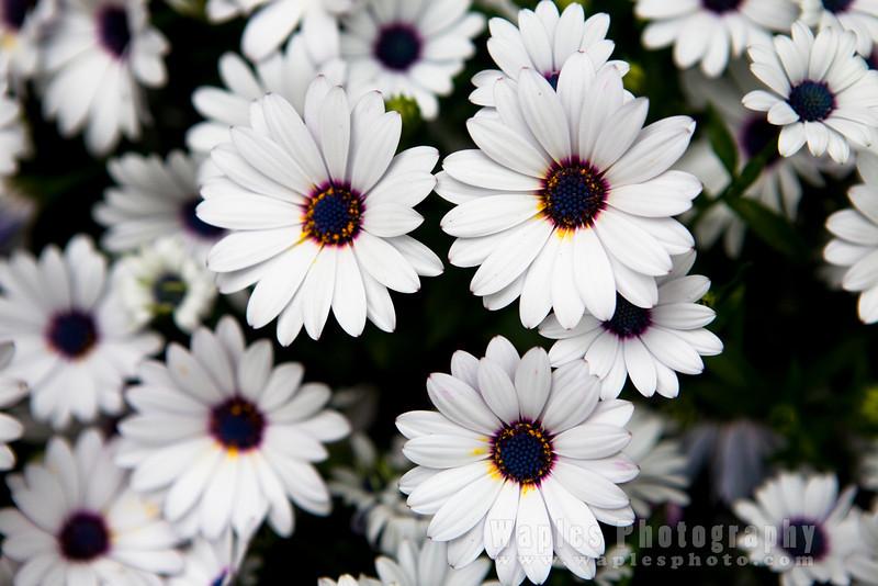 Daisy varietal