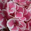 "Hydrangea macrophylla<br /> ""Harlequin"""