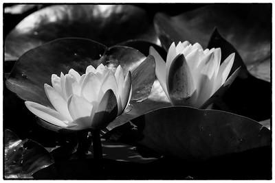 Lotus Blossoms - Tarrawarra Winery, Yarra Valley, Australia