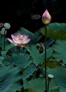Lotus FlowersThe Lotus flower is symbolic of perpetual life in Buddhism.