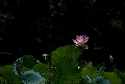 Lotus Flower GardenNorth Shore of O'ahu, Hawai'iGenus:NELUMBOSpecies: NUCIFERAVariety:'OhgaHasuFamily Name: NymphaceaeSynonym:Lotus, Nelumbium speciosumEnglish Name: East IndianLotus