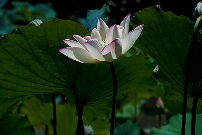 Lotus FlowerThe Lotus flower is symbolic of perpetual life in Buddhism.