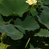 Lotus,Water Lilly <br /> © Pamela Stover<br /> Exposed Images Photography
