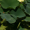 Lotus, Water Lilly <br /> © Pamela Stover<br /> Exposed Images Photography