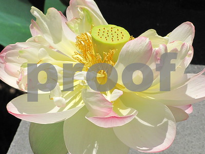 Lotus and Water lilies 2009-10