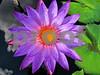 IMG 6180 PY WL Skywaterflower V2 14 300dpi