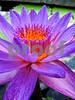 IMG_6165 Purple WL V2 best
