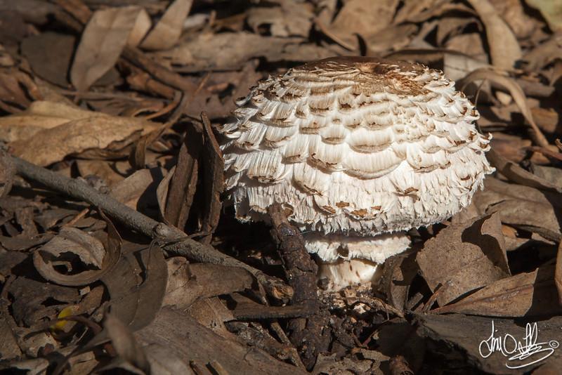 Wild Mushroom • Shaggy Parasol<br /> Southern California