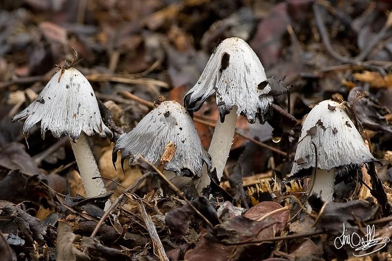 Wild Mushroom • Ink Cap<br /> Southern California