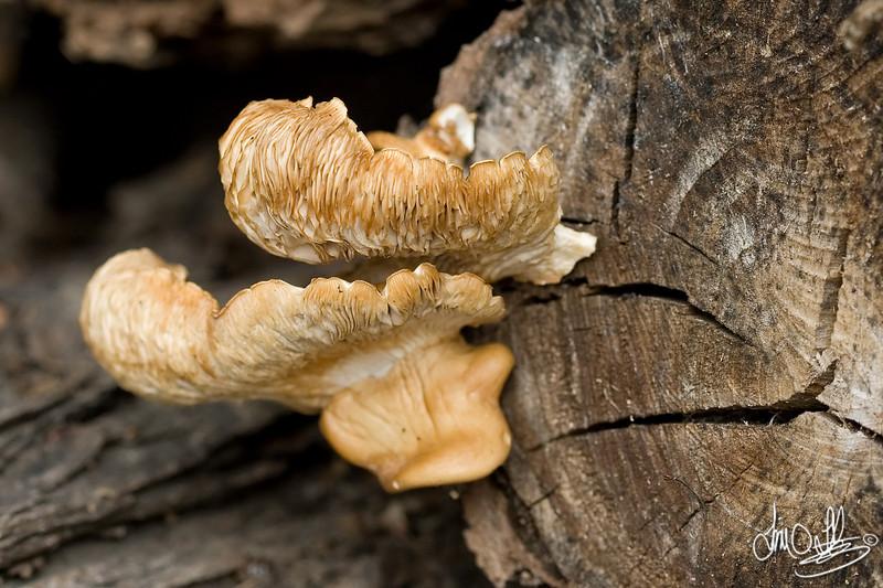 Wild Mushroom<br /> Southern California