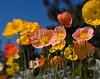 Ranunculus Multi Color lb 3220