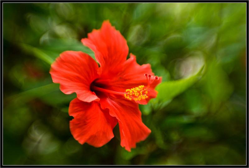 1 Red Hibiscus F2_0 lb 8578 copy