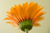 Yellow Daisy F2 lb 0347