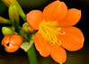 Tropical Orange 3132