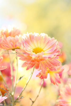 Korean chrysanthemum - my favorite!