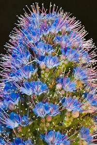 Pride of Madeira flower macro
