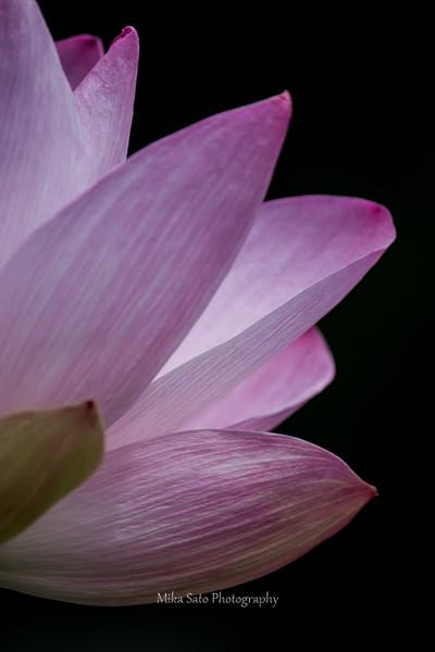 Lotus flower / macro