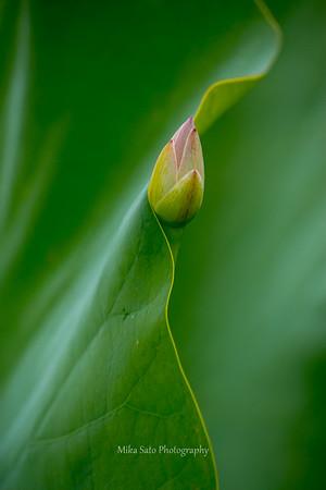 Peek a boo lotus 3