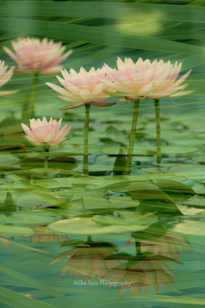 pink waterlily  - double exposure