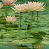 pink waterlily  - double exposure
