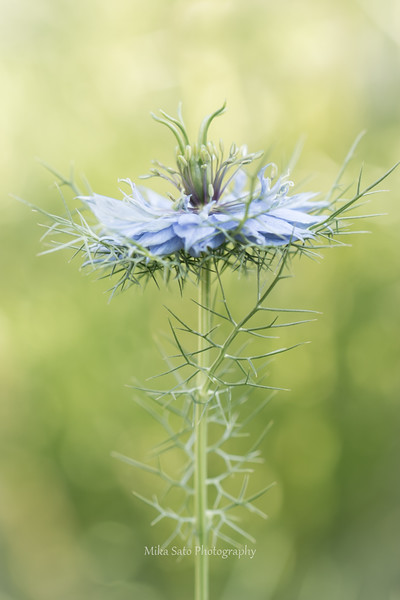 Love-in-a-mist 2