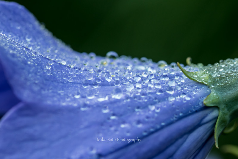 balloon flower and waterdrops1