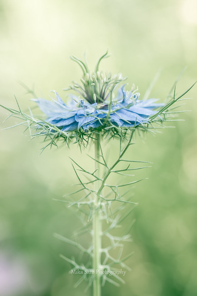 Love-in-a-mist 1