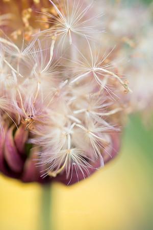 garbera seeds