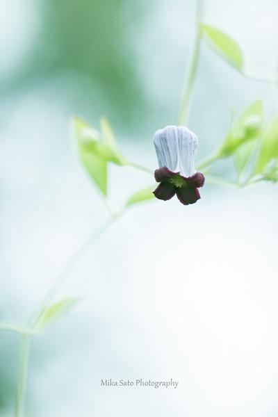 Bellflower cleatis