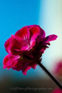 Red Geranium flower macro