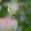 Dreamy Lotus